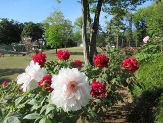 主催イベント:■ぼたん・パークフェスタ情報 園路でお絵描き&ぼたんを咲かそう■の画像