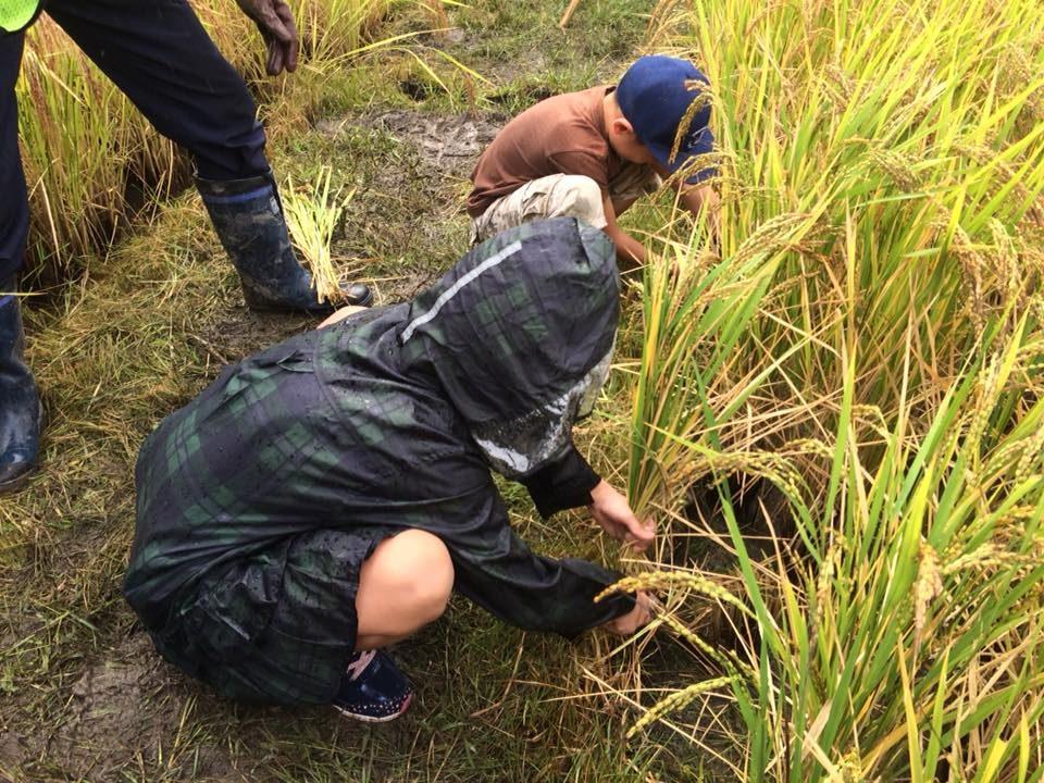 古代米の稲刈り体験会